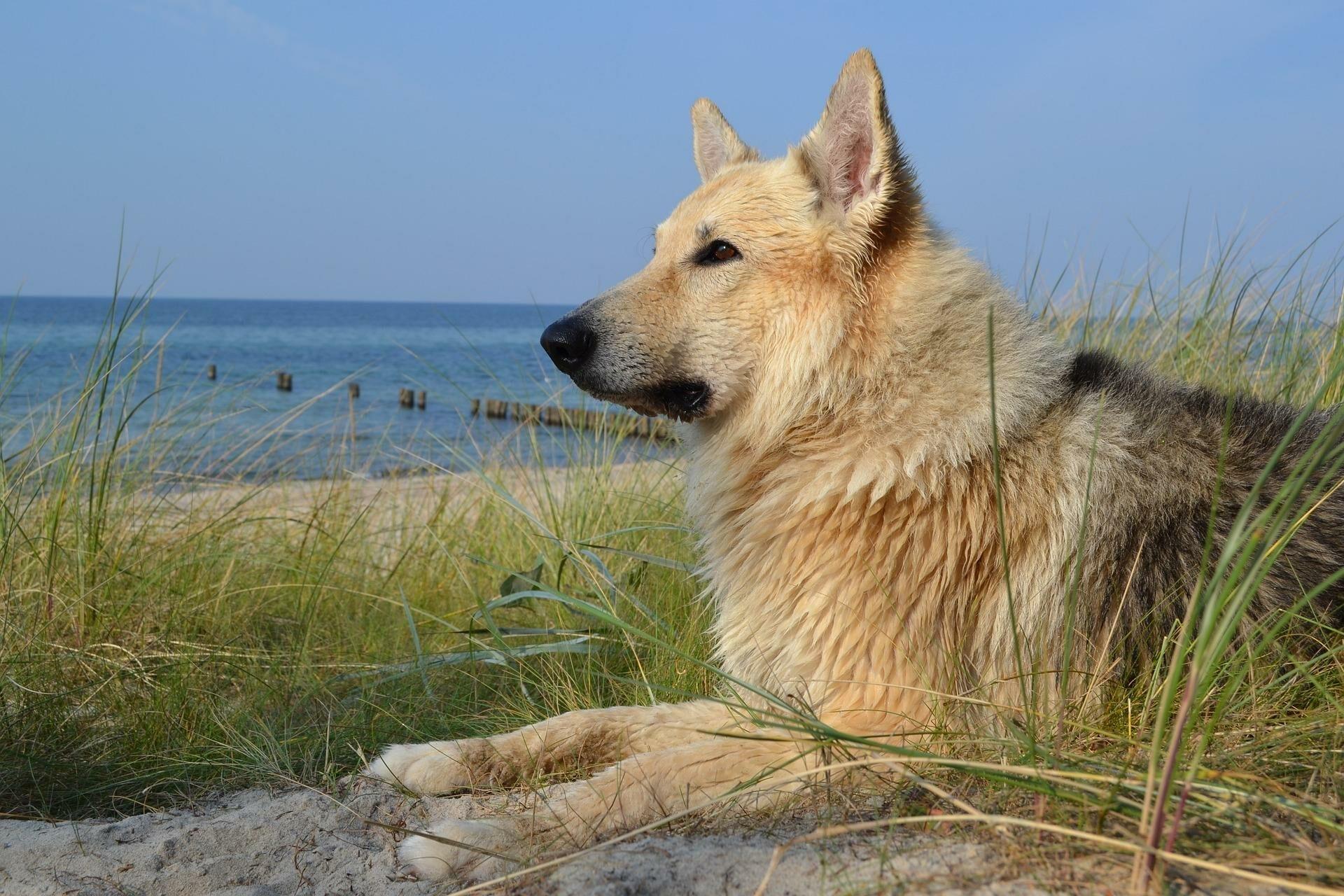 Hund am Strand in den Dünen